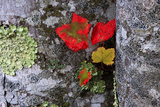 Fall Leaves at Acadia National Park  Maine  USA