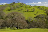 California Black Oaks  Mt Diablo State Park  California  USA