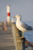 Seagull at the Lake Ontario Pier  Rochester  New York  USA