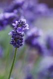 Lavender in the Backyard  Keizer  Oregon  USA