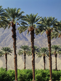 Grove of Date Palms  Coachella  California  USA