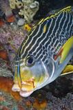 Cleaner Fish with Sweetlip Fish  Raja Ampat  Papua  Indonesia