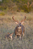 White-Tailed Deer Buck and Fawn in Field  Texas  USA