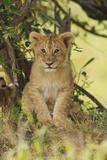 Lion Cub in the Bush  Maasai Mara Wildlife Reserve  Kenya