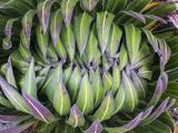 Giant Lobelia Rosette of Leaves  Mount Kenya National Park  Kenya