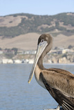 Wild Brown Pelican on Historic Pier  Pismo Beach  California  USA