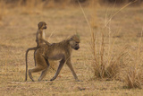Chacma Baboons  South Luangwa National Park  Zambia