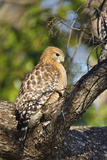 Red-Shouldered Hawk (Buteo Lineatus) Adult in Tree  Texas  USA