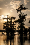 Bald Cypress in Water  Lake Martin  Atchafalaya Basin  Louisiana  USA