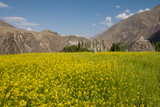 Mustard Flowers and Mountains in Alchi  Ladakh  India