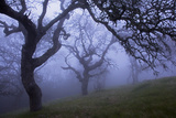 California Black Oaks  Evening  Mt Diablo State Park  California  USA