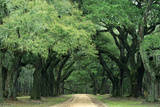 Road Enclosed by Moss-Covered Trees  Charleston  South Carolina  USA