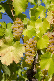 White Wine Grapes on Vine  Napa Valley  California  USA