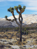 Joshua Trees in Winter  Joshua Tree National Park  California  USA