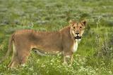 Lioness  Etosha National Park  Namibia
