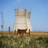 Cow Grazing on Field  Cooling Towers in Background