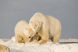Polar Bear Sow with a 2-Year-Old Cub  Bernard Spit  ANWR  Alaska  USA