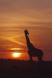 Giraffe at Sunrise  Maasai Mara Wildlife Reserve  Kenya