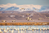 Snow Geese Take Off from Pond  Freezeout Lake  Montana  USA