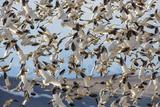Snow Geese Fill the Sky  Montana  USA