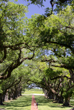 300-Year-Old Oak Trees  Vacherie  New Orleans  Louisiana  USA