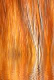 Reflection of Autumn-Colored Aspen Trees  Grant Lake  California  USA