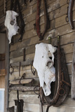 Old Cow Skulls  Fort Hays  Rapid City  South Dakota  USA