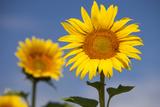 Sunflowers Against Bright Blue Sky Near Saint Remy-De-Provence  France