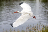 White Ibis in Everglades National Park  Florida  USA