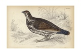 The Canadian Grouse