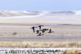 Northern Pintail Ducks in Courtship Flight  Montana  USA
