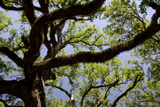 300-Year-Old Oak Tree  Vacherie  New Orleans  Louisiana  USA
