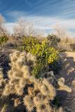 Cholla Blooms  Joshua Tree National Park  California  USA