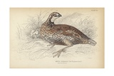 The Virginian Quail