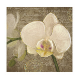 Dreamers White Orchid