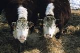 Hereford Steers in Winter Feedlot  Cache Valley  Utah  USA