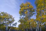 Aspens (Populus Tremuloides) at Dusk Fall   Sevier Plateau  Utah  USA