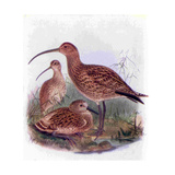 1950s UK Curlews Book Plate