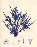 Blue Botanical Study II