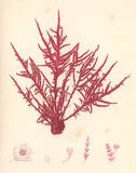Red Botanical Study II