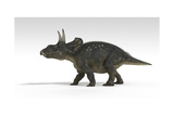 Triceratops Dinosaur  White Background