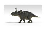Triceratops Dinosaur  White Background