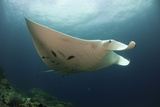 Underside View of a Giant Oceanic Manta Ray  Raja Ampat  Indonesia