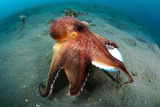 A Coconut Octopus  Lembeh Strait  Sulawesi  Indonesia