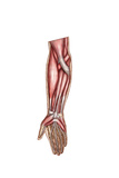 Anatomy of Human Forearm Muscles  Superficial Anterior View
