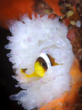 Clark's Anemonefish in White Anemone  Gorontalo  Indonesia