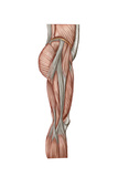 Anatomy of Human Thigh Muscles  Anterior View