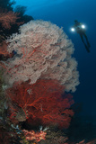 Sea Fans Illuminated by Diver with Twin Lights  Raja Ampat  Indonesia