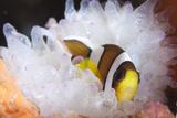 Clark's Anemonefish in White Anemone  Gorontalo  Indonesia