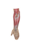 Anatomy of Forearm Muscles  Anterior View  Middle